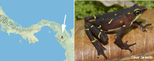 Atelopus glyphus Distribution map Panama (c)