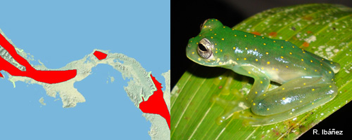 cochranella albomaculata white spotted glass frog disribution in Panama