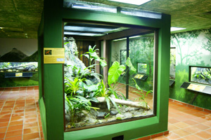 Golden frog exhibit in the public area of the EVACC center, Panama