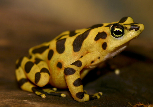 Panamanian Golden Frog, Atelopus zeteki (in captivity)