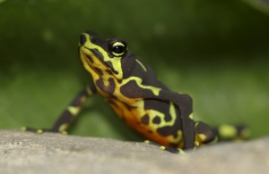 Limosa harlequin frog, one of the priority rescue species housed in the amphibian rescue pod