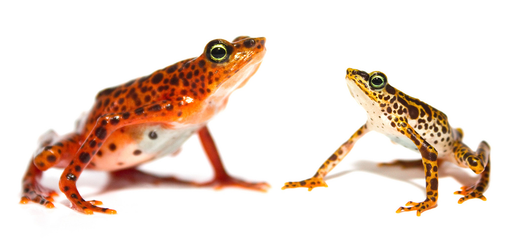 The Toad Mountain Harlequin Frog, Atelopus certus. Female left, male right. 