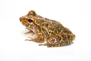 One of the three potentially new species appears to be a robber frog, genus Craugastor, shown here. The unique skin folds on its arms and feet distinguish it from other closely related species. Robber frogs are especially susceptible to chytrid. (Credit: Brian Gratwicke, Smithsonian Conservation Biology Institute)