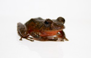 "Two of the three potentially new species is a rain frog from the genus Pristimantis. The species pictured here has a bright red stomach that is uncharacteristic for rain frogs, earning it the nickname ""red tomato."" (Credit: Brian Gratwicke, Panama Amphibian Rescue and Conservation Project)"