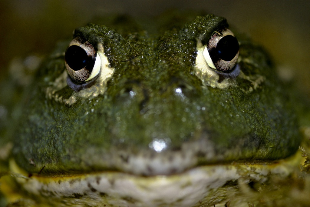 BG African Bullfrog