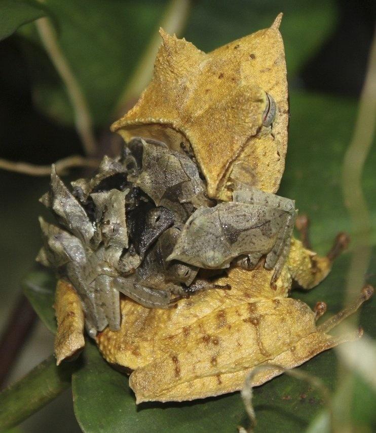 Banded horned tree frog (Hemiphractus fasciatus)