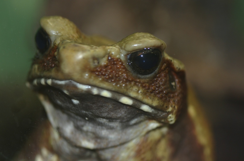 Smooth-Sided Toad (Bufo guttatus)