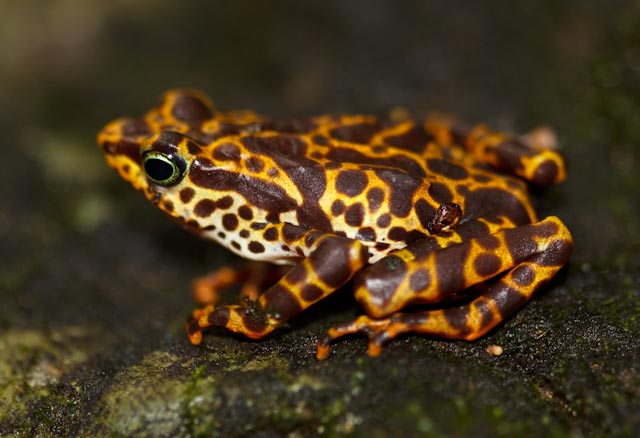 Project researchers collected nearly 80 healthy Toad Mountain harlequin frogs on their June expedition to the Darien.