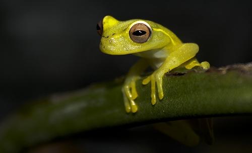 La Loma tree frog (Hyloscirtus colymba)