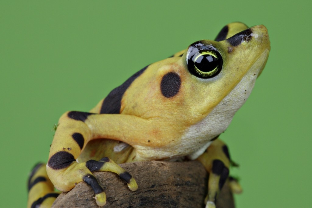 The Panamanian golden frog, now extinct in the wild, was once considered a token of good luck and is now a flagship species for frog conservation. (Photo by Mehgan Murphy, Smithsonian's National Zoo)