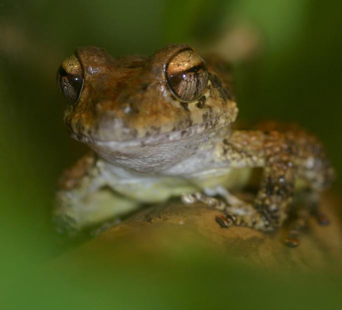 Bob's robber frog (Craugastor punctariolus)