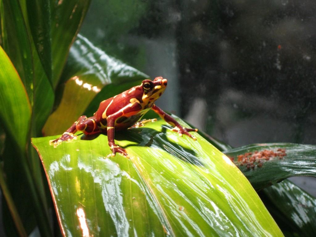 Harlequin frog (Atelopus limosus)