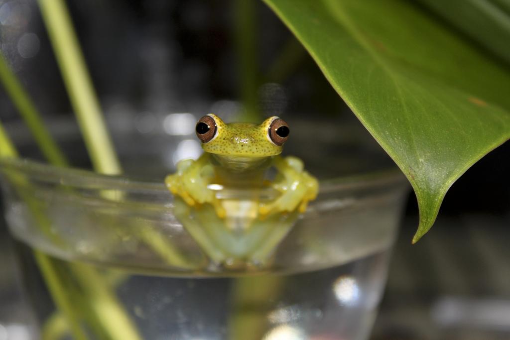 La Loma tree frog (Hyloscitrus colymba)