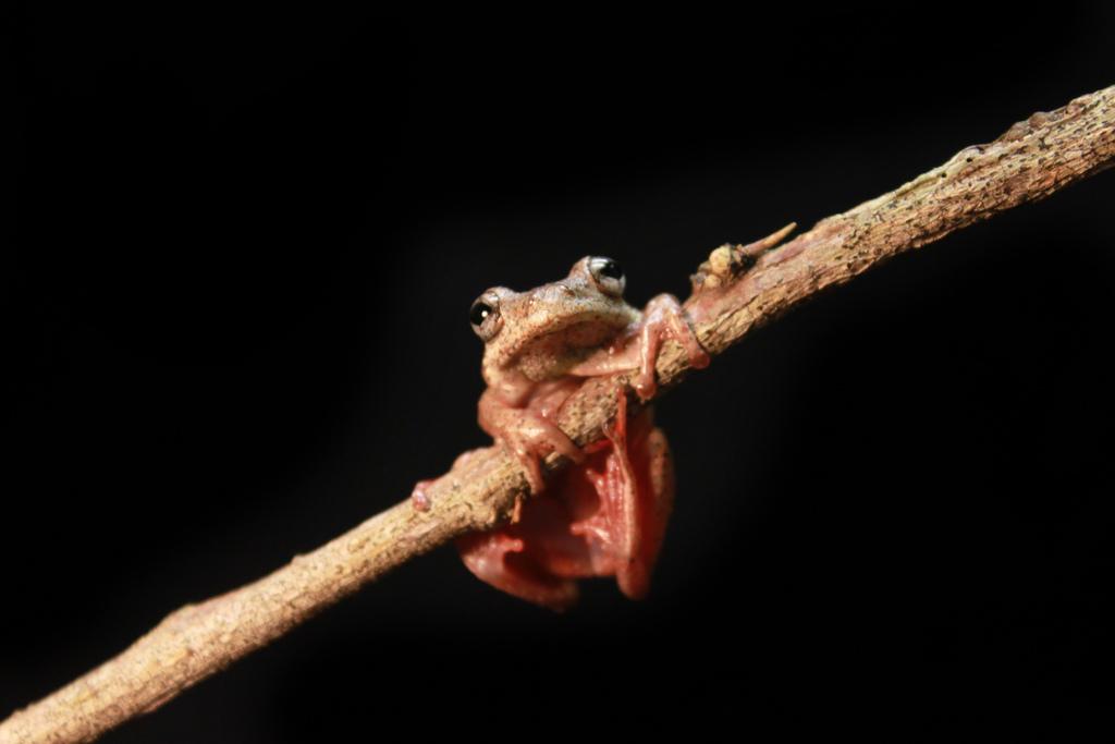 Rainforest reed frog (Hyperolius tuberculatus)