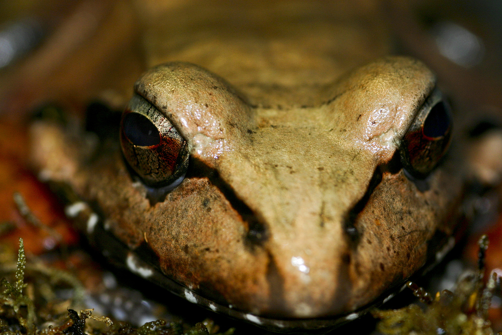 Smoky Jungle Frog (Leptodactylus peritoaktites)