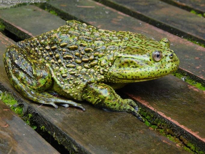 Chilean frog (Calyptocephalella gayi)