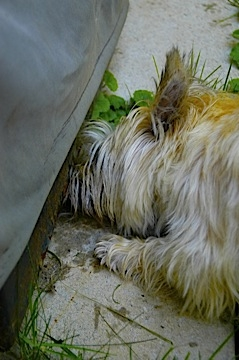 Cairn terrier looks for toad