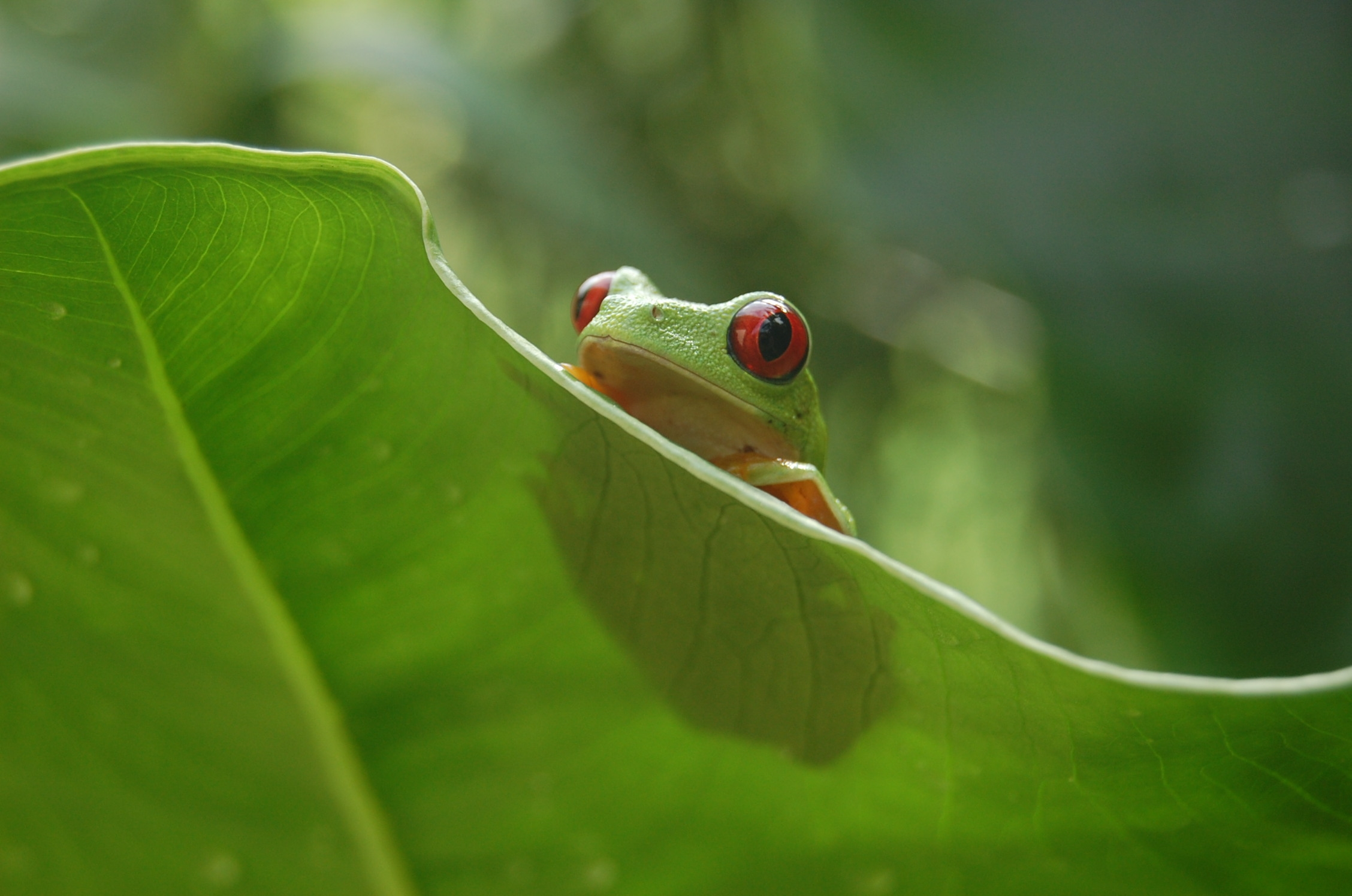 Red-eyed tree frog (Agalychnis calladryas)