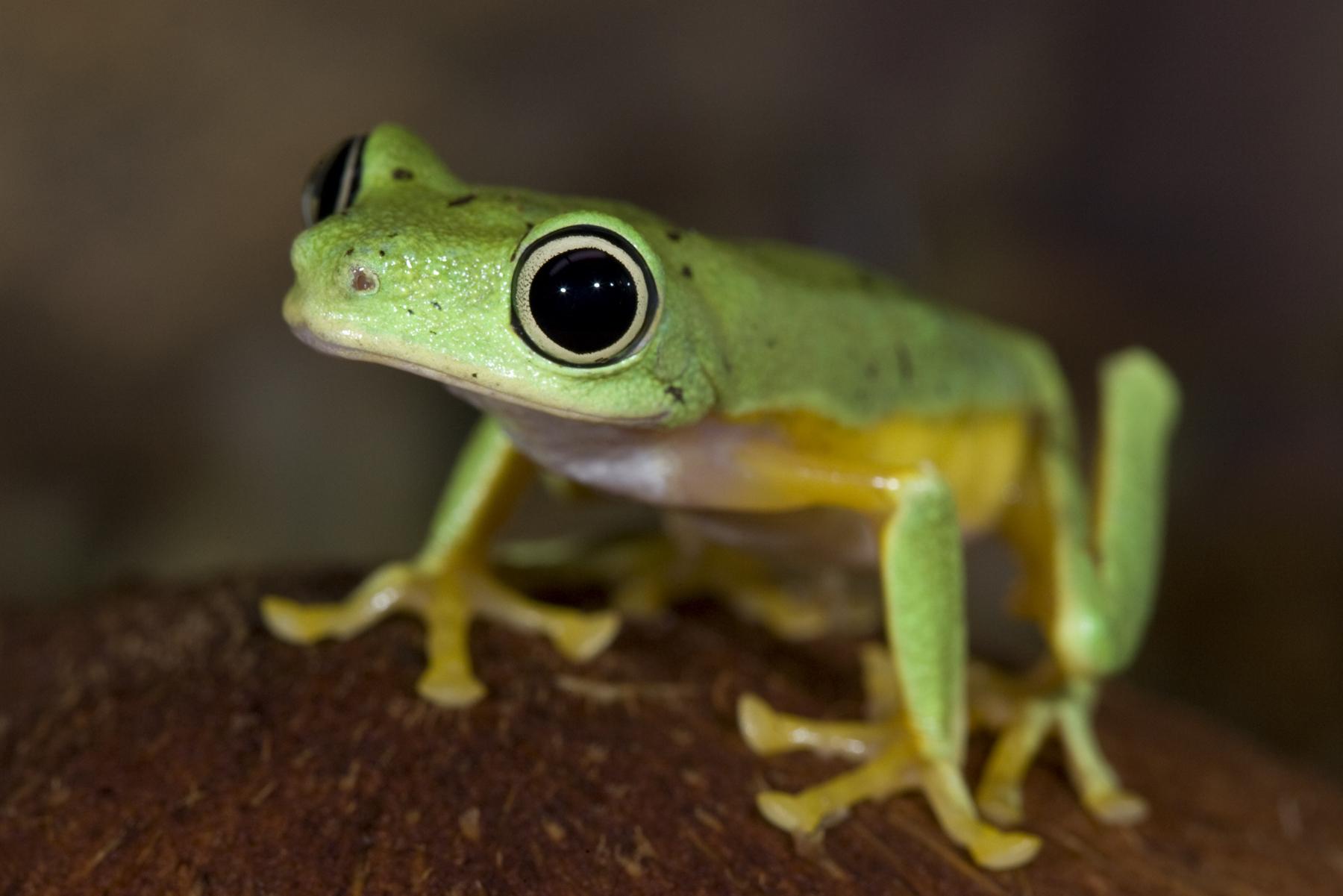 Lemur leaf frog (Hylomantis lemur)