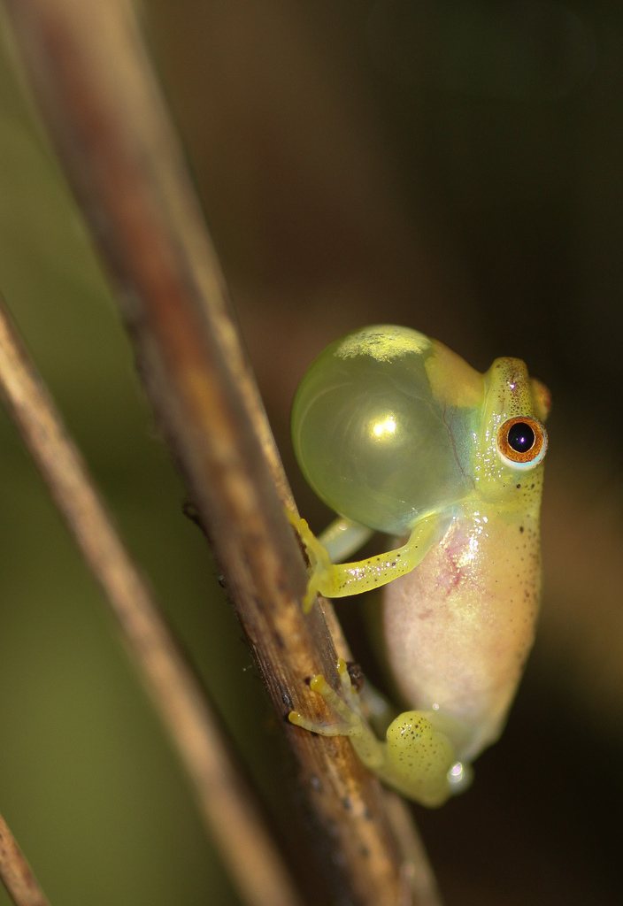 Sharp-Nosed reed frog (Hyperolius nasutus)
