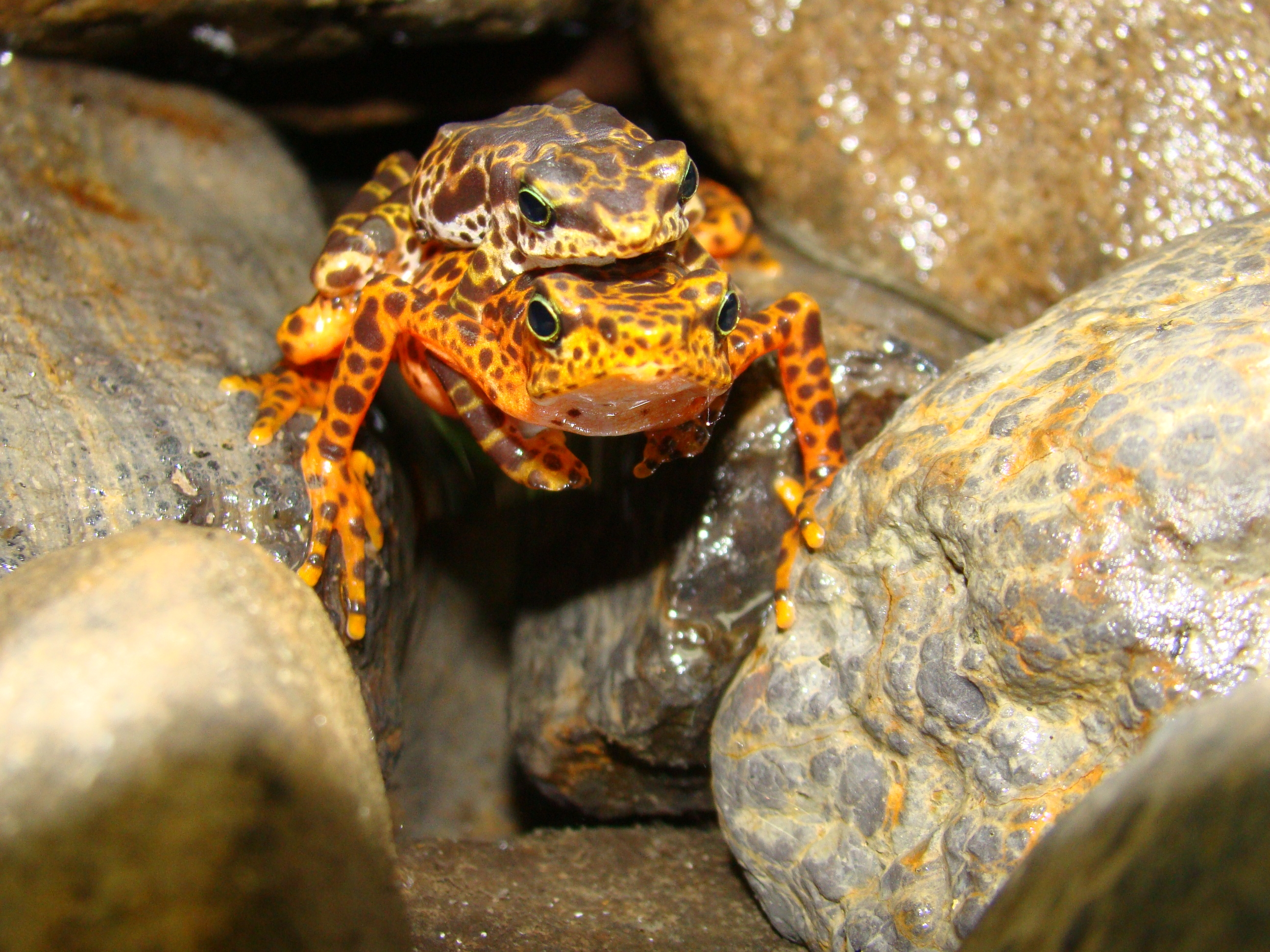 Toad Mountain harlequin frogs