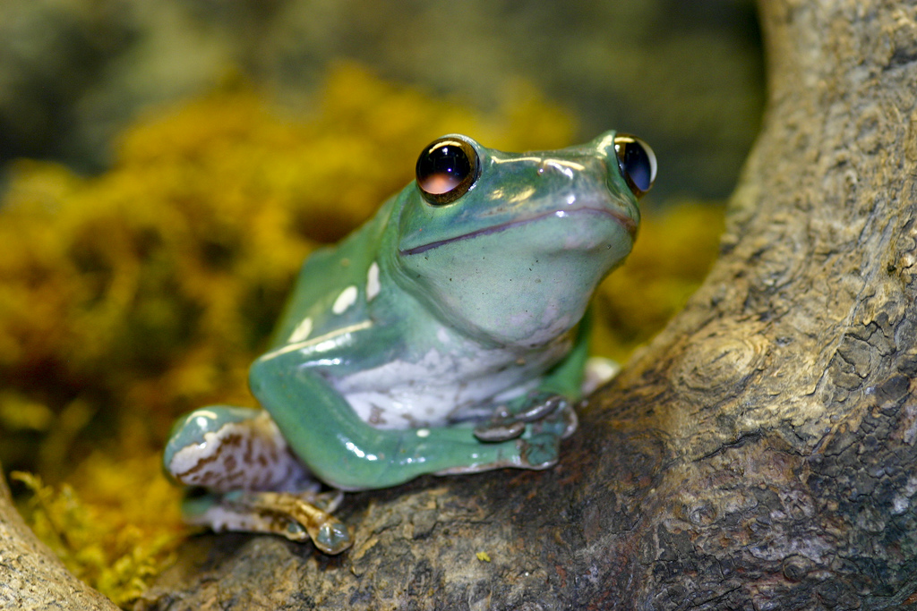 Chinese gliding frog (Polypedates dennysi)