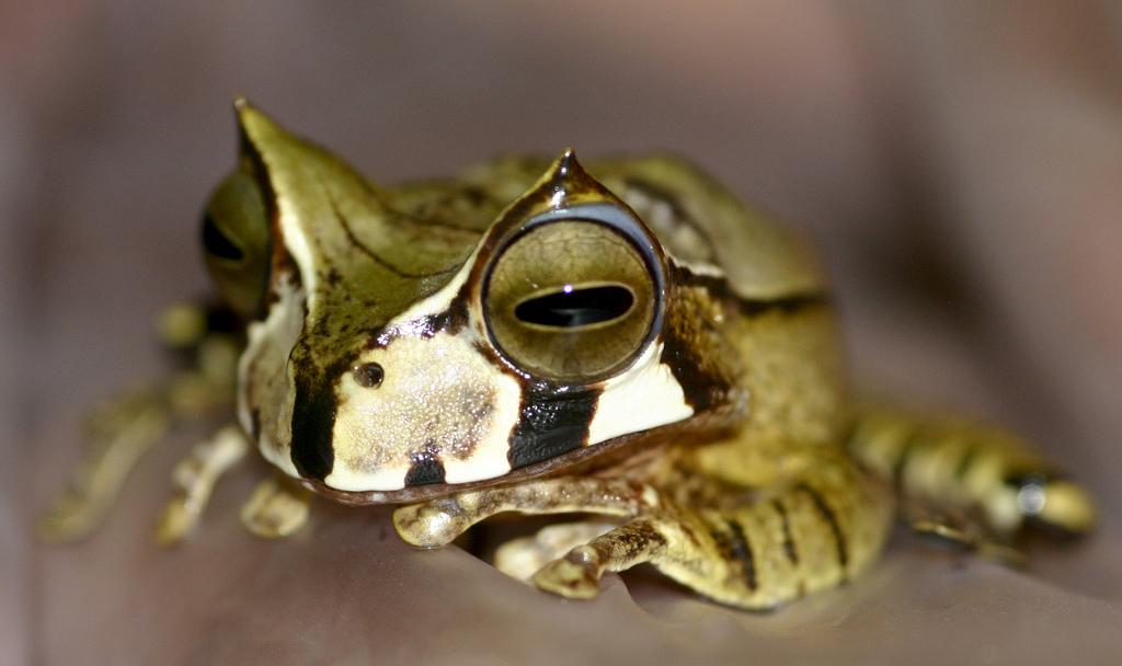 Horned marsupial frog (Gastrotecha cornuta)