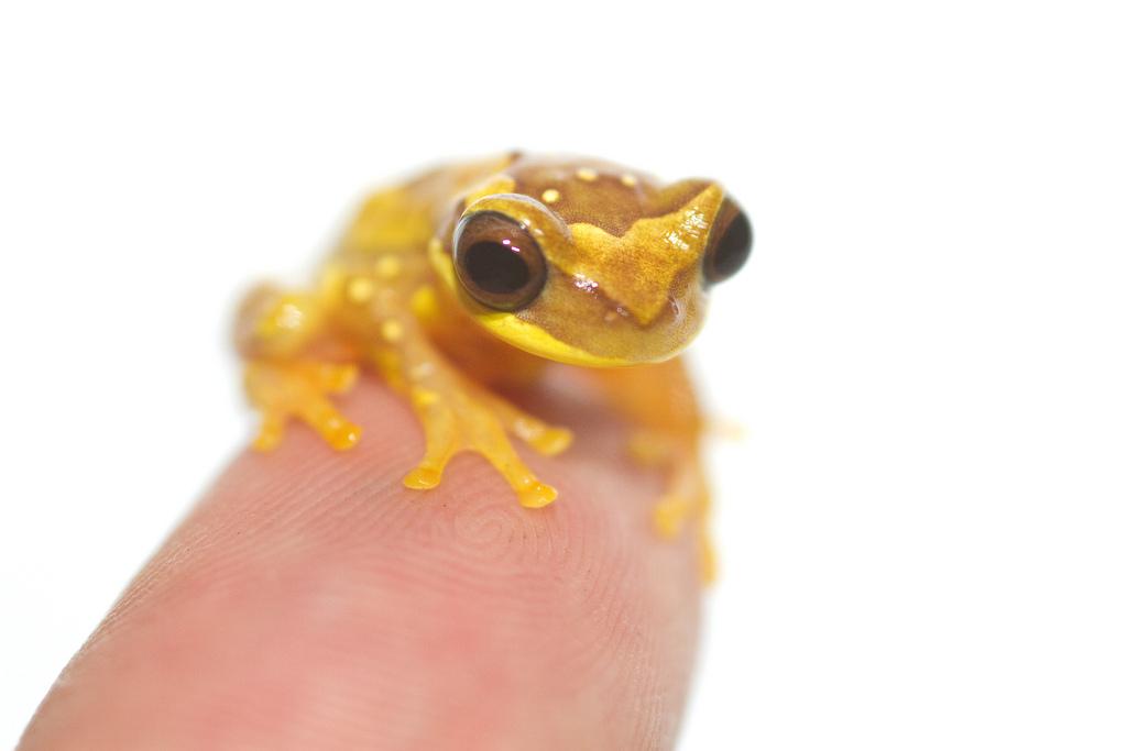 Hourglass tree frog (Hyla ebraccata)