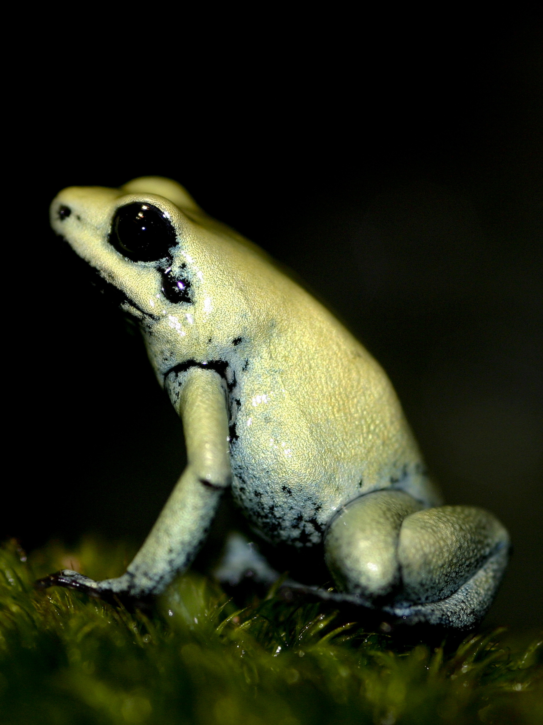 Golden poiston frog (Dendrobates terribilis)