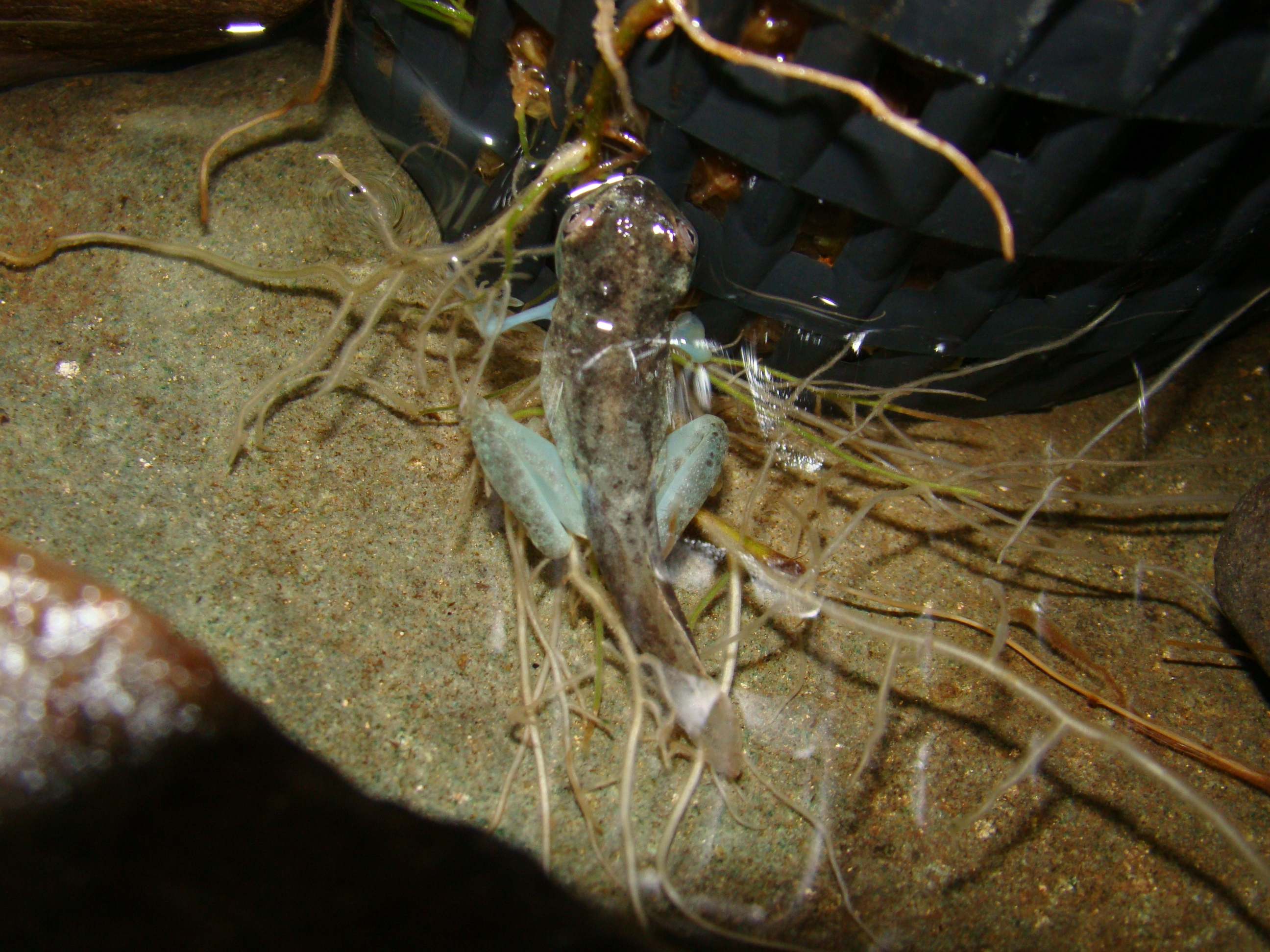 La loma tree frog morph