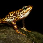 Toad Mountain harlequin frog