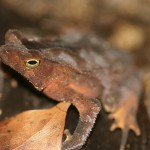 Leaf-litter toad (Bufo typhonius)