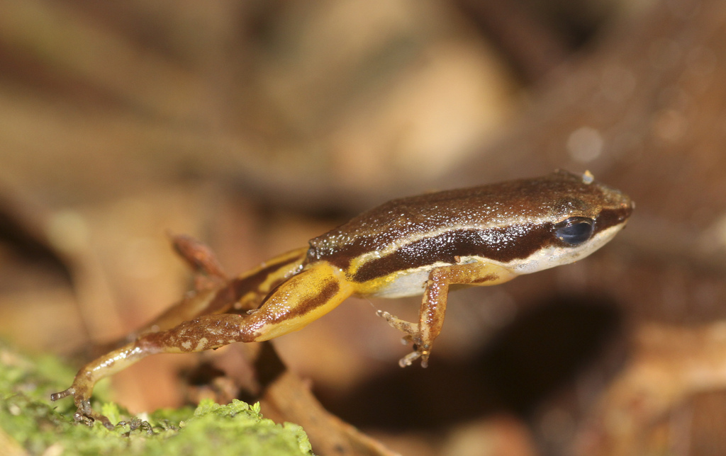 Rain forest rocket frog (Silverstoneia flotator)