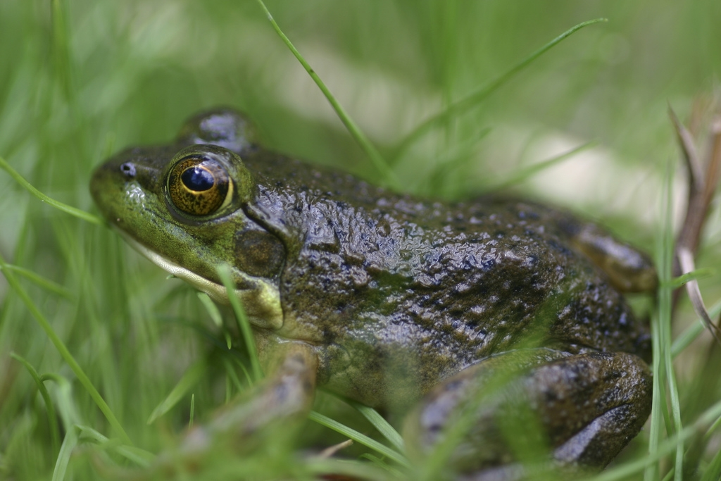 Bullfrog