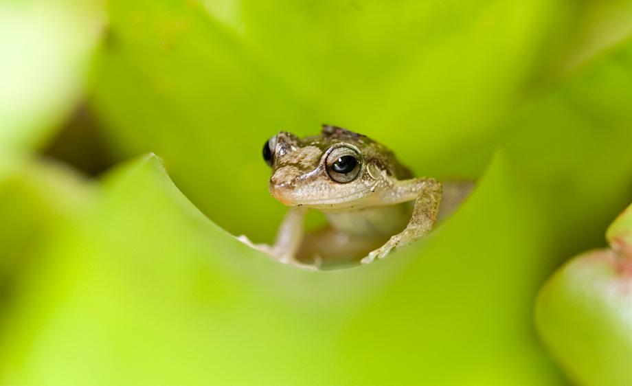 Coqui (Eleutherodactylus coqui)