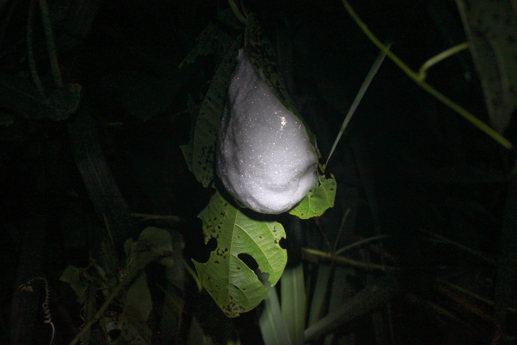 Nest of a foam nest tree frog (Chiromantis xerampelina)