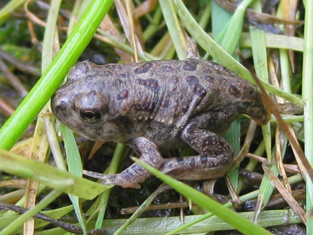 Wyoming toad (Anaxyrus baxteri)