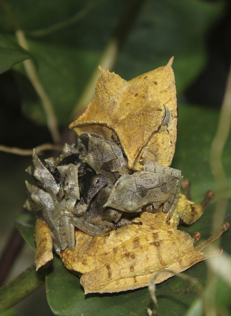Banded horned tree frog (Hemiphractus fasciatus) 