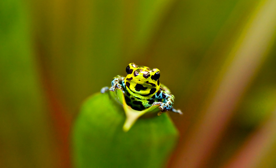 Imitator poison dart frog (Ranitomeya imitator)