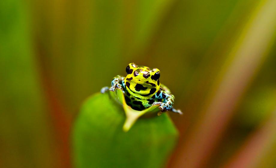 Imitator poison dart frog (Ranitomeya imitator)