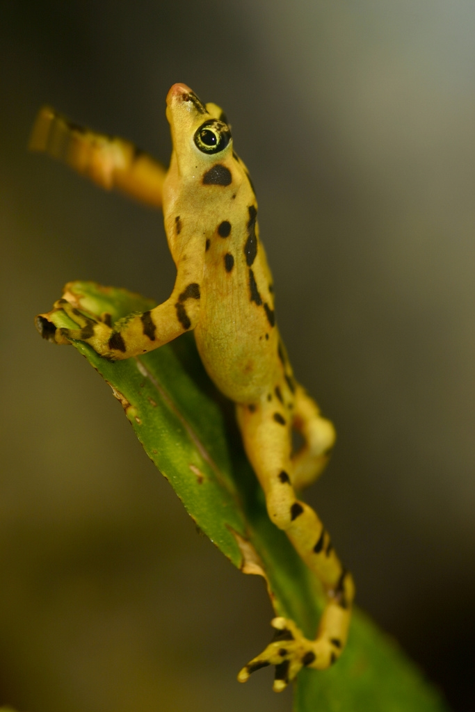 Panamanian golden frog (Atelopus zeteki)