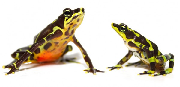 Limosa Harlequin Frog