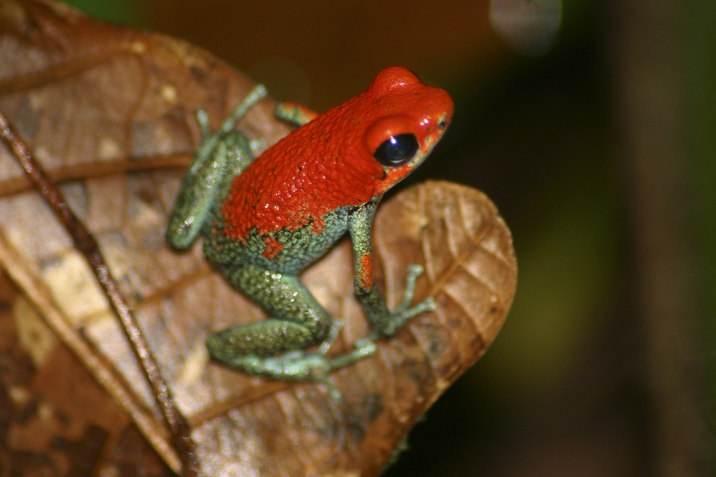 Granular Poison Dart Frog (Oophaga granulifera)