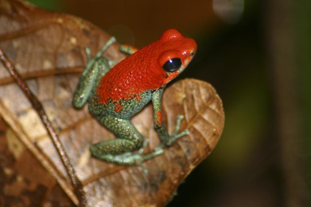 Granular Poison Dart Frog (Oophaga granulifera)