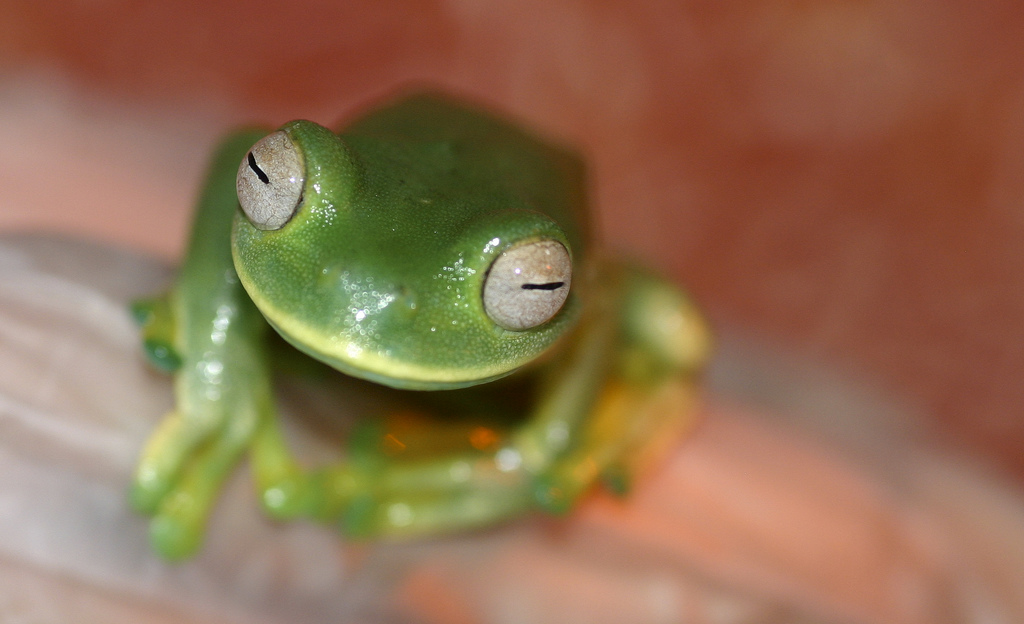 Palmer's tree frog (Hyloscirtus palmeri)