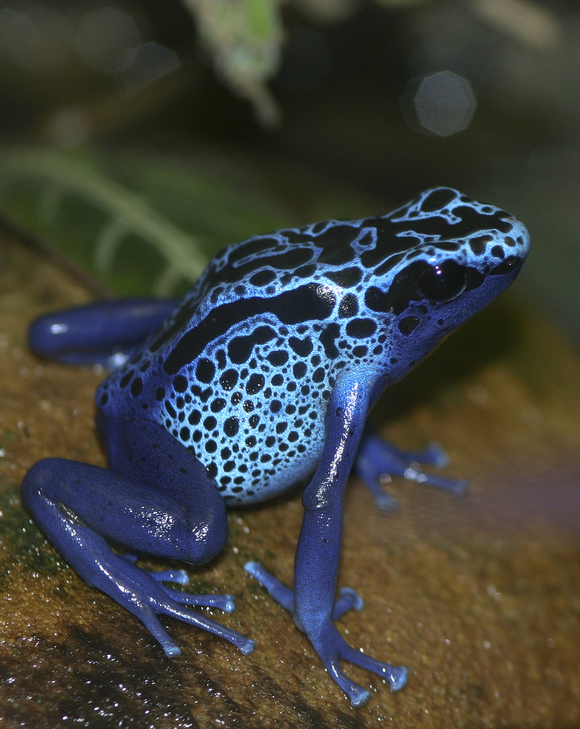 Blue Poison Dart Frog (Dendrobates pumilio)