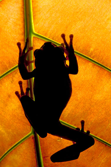 Mexican tree frog (Smilisca baudinii)