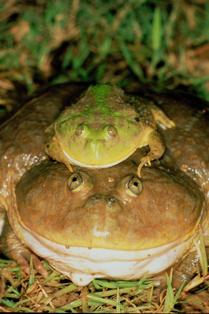 Budgett's frog (Lepidobactrachus laevis)