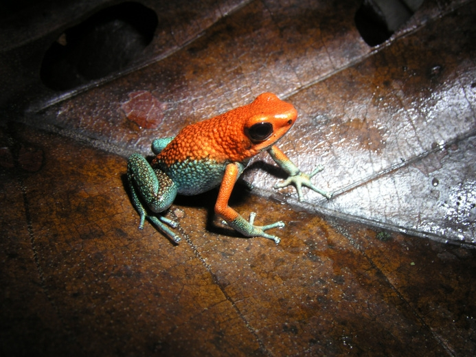 Granular poison dart frog (Dendrobates granuliferus)