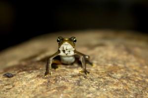 Limosa harlequin frog (Atelopus limosus)